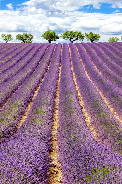 Вертикальный вид на поле лаванды с пасмурным небом, франция, европа Бесплатные Фотографии