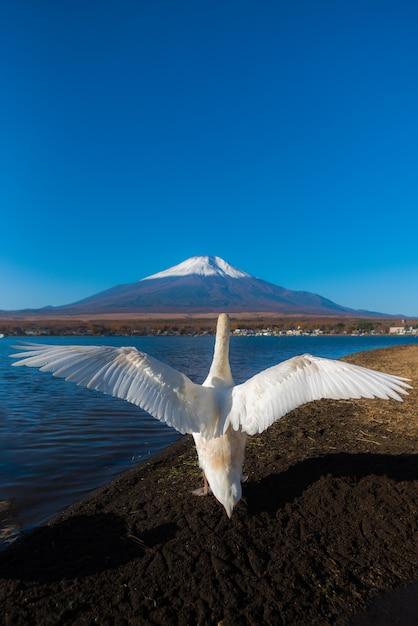山中湖の羽ばたきアクションで白い白鳥がとても美しい。富士の背景、ファモ Premium写真