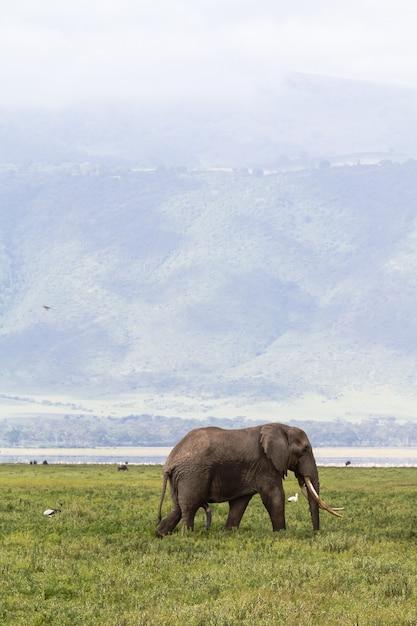 응고 로고로 분화구 바닥에있는 매우 큰 코끼리. 탄자니아, 아프리카 프리미엄 사진