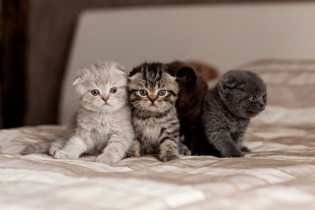 Very cute british kittens of beautiful colors sit on a plaid Premium Photo