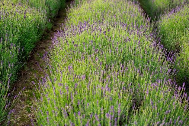 Очень красивый вид на лавандовые поля. ароматные поля цветов лаванды зацветают бесконечными рядами. прованс, регион франции. Premium Фотографии