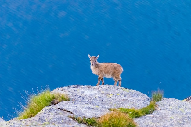 Very young ibex perched on rock looking at the camera with blue lake Premium Photo