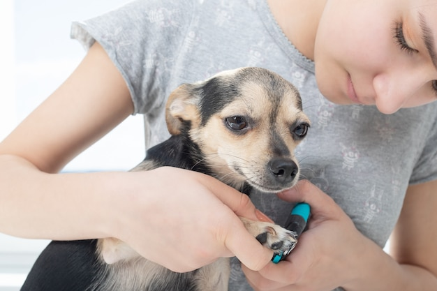 Veterinarian cuts the claws of a small dog toy terrier in the clinic Premium Photo