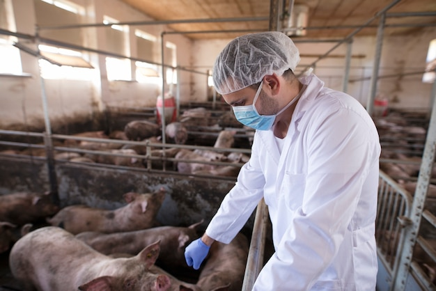 Ветеринарный врач, контролирующий свиней на свиноферме Бесплатные Фотографии