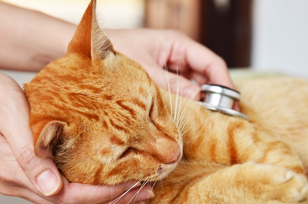 Veterinarian examining a kitten Premium Photo