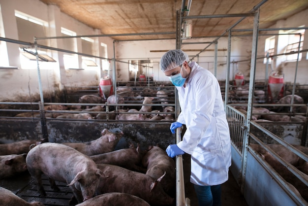Ветеринар опирается на клеточный забор и наблюдает за свиньями на свиноферме и проверяет их здоровье и рост Бесплатные Фотографии