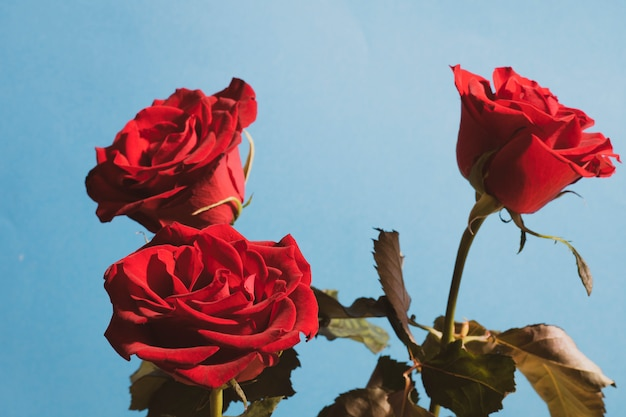 Vibrant red roses for valentine's day, or any day to say about love Premium Photo