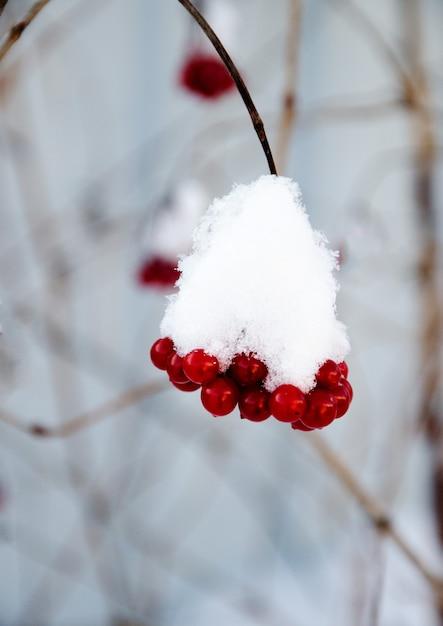 ガマズミ属の木は雪の下で枝分かれします。雪がちりばめられた赤いガマズミの束 Premium写真