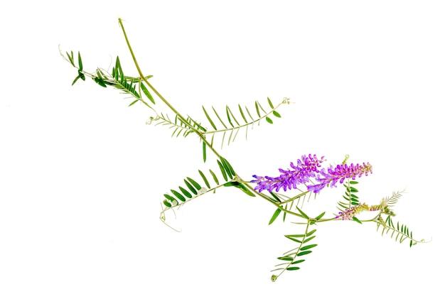 薬用植物vicia cracca Premium写真