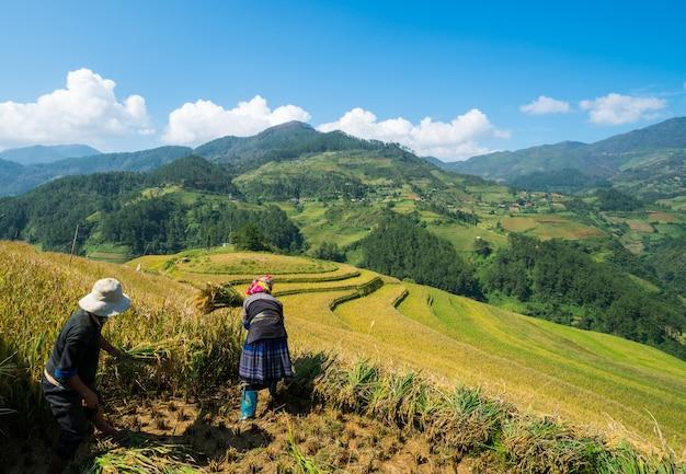 Vietnamese farmers are harvesting in sapa vietnam. Premium Photo