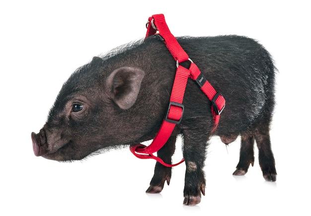 Vietnamese pig in studio Premium Photo