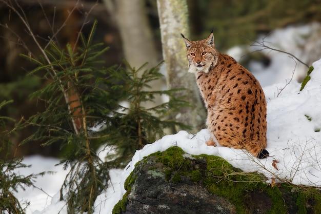 Vista di un curioso gatto selvatico alla ricerca di qualcosa di interessante in un bosco innevato in una giornata gelida Foto Gratuite