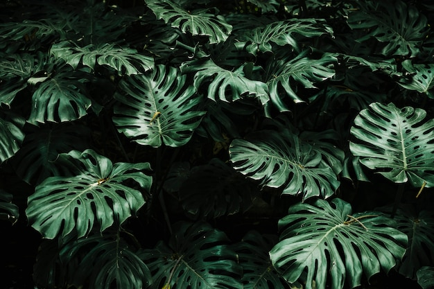 View of monstera leaves in forest Free Photo