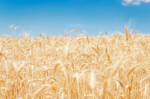 Вид на сельскохозяйственное поле с зерном, готовым к сбору урожая Premium Фотографии