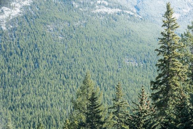 松の木の眺め 無料写真