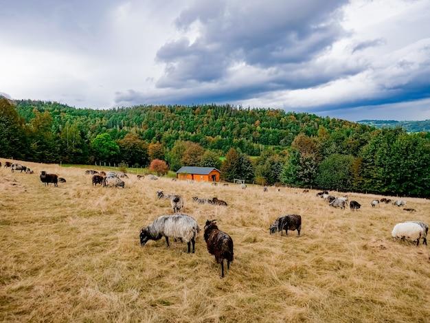 ポーランド、ローワーシレジアの羊のいる農場の様子。ズデーテン Premium写真