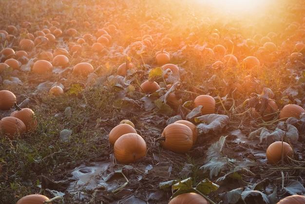 View of pumpkin field Free Photo