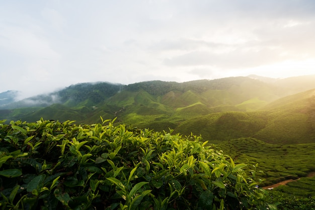 View of tea plantation in sunset/sunrise time in in cameron highlands, malaysia. Premium Photo