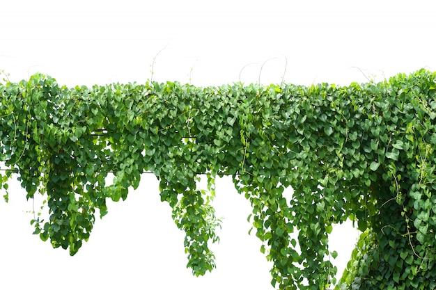 Vine, ivy plant hanging on electric wire Premium Photo