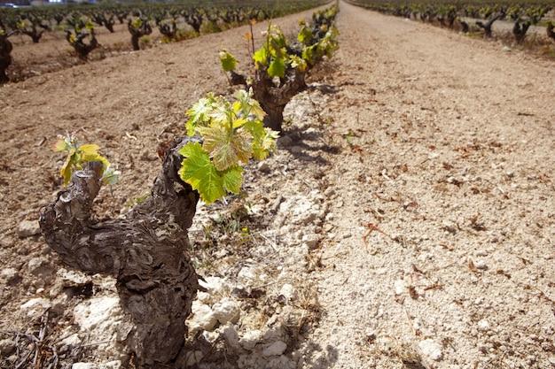 スペインの行フィールドでぶどう畑の最初の春もやし Premium写真