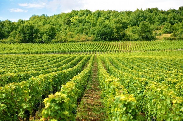 Vineyard in france Free Photo