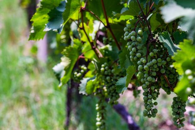 ジョージア州カヘティ州のブドウ畑 Premium写真