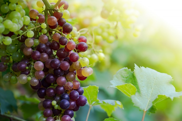 Vineyard with ripe grapes in countryside, purple grapes hang on the vine Premium Photo