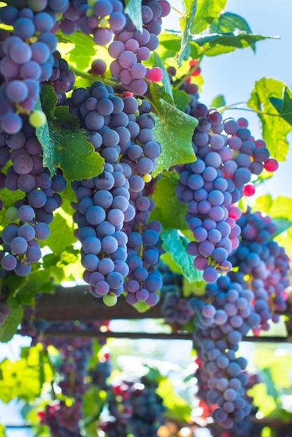 Виноградники на закате осеннего урожая. спелый виноград осенью. синие созревшие грозди. лучи заходящего солнца на закате Premium Фотографии