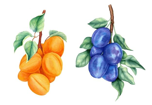 Винтажная коллекция фруктов со сливами и абрикосами, акварельная ботаническая иллюстрация Premium Фотографии