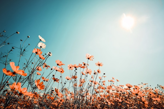 Vintage landscape nature background of beautiful cosmos ...