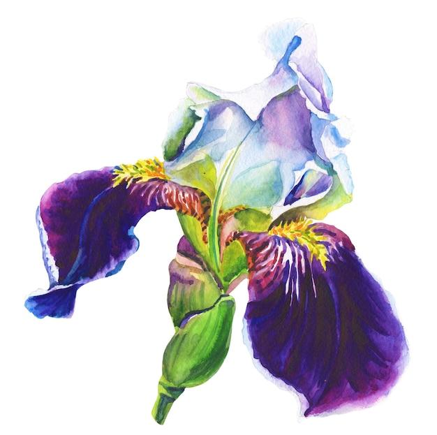 Фиолетовый ирис. акварельный цветок на белом фоне. Premium Фотографии