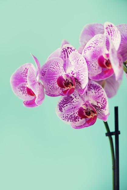 Violet orchid on blue background Premium Photo