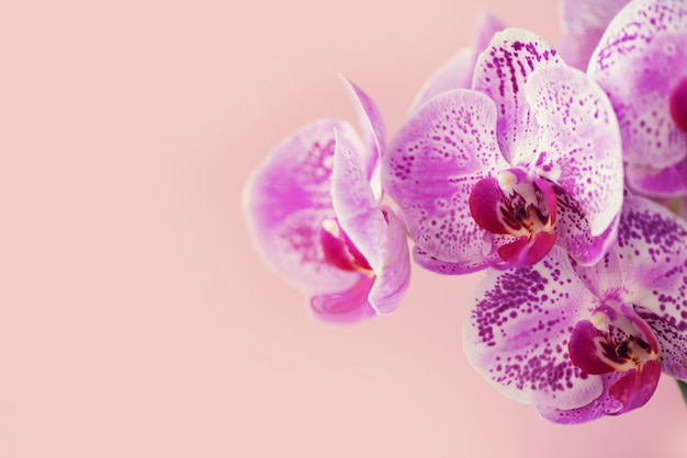 Violet orchid on pink background Premium Photo