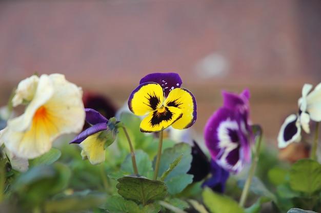 バイオレットパンジー花壇花壇 Premium写真