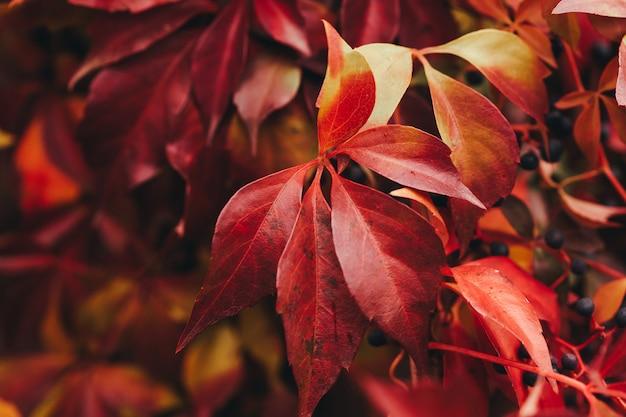 Virginia creeper red leaves close up. selective focus Premium Photo