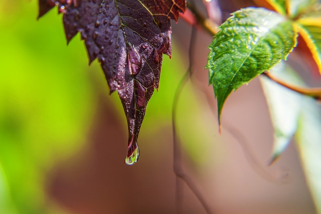 Viticulture wine industry. drops of rain water on green grape leaves in vineyard Premium Photo