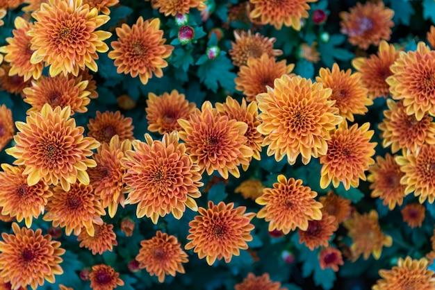 鮮やかでさわやかで明るく甘いカラフルで美しいオレンジ色のダリアの花 Premium写真