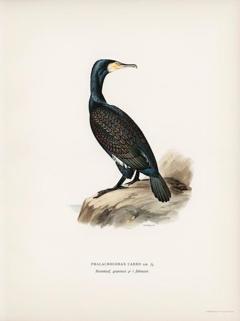 Von wrightの兄弟によって描かれた素晴らしいcormoran(phalacrocorax carbo)。 無料写真