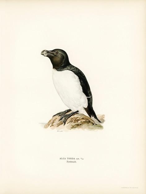 Von wrightの兄弟によって描かれたrazorbill(alca torda)。 無料写真