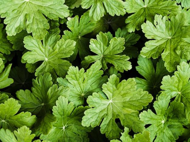 Waldsteinia fragarioidesの葉の背景 無料写真