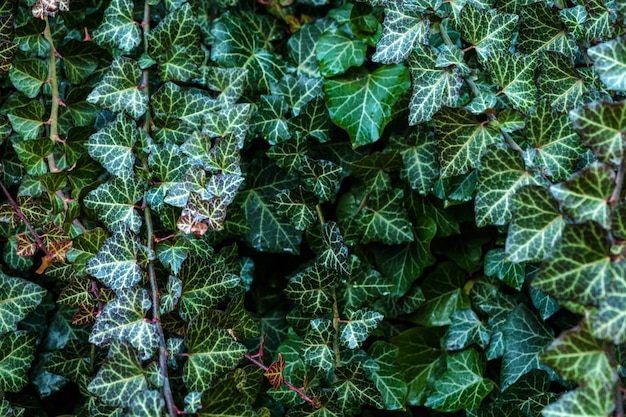 A wall of climber common ivy. green floral Premium Photo