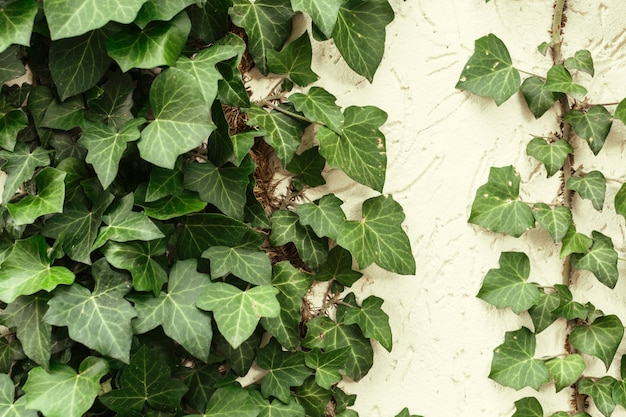 A wall of common ivy. also known as european ivy Premium Photo