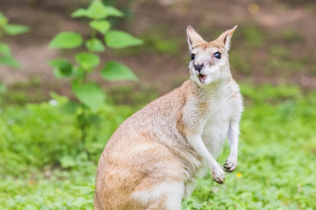 Wallaby, an australasian marsupial that is similar to, but smaller than, a kangaroo. Premium Photo