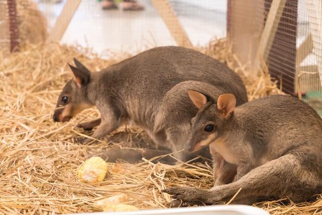 Wallaby or mini kangaroo Free Photo