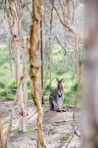 Wallaby standing Free Photo