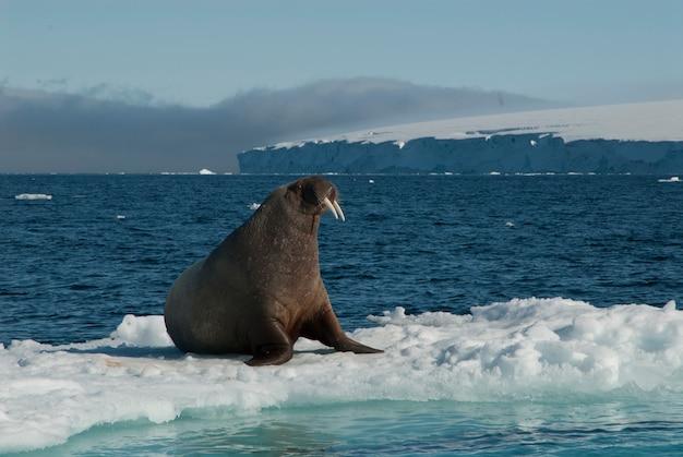 Walrus on an ice floe Premium Photo