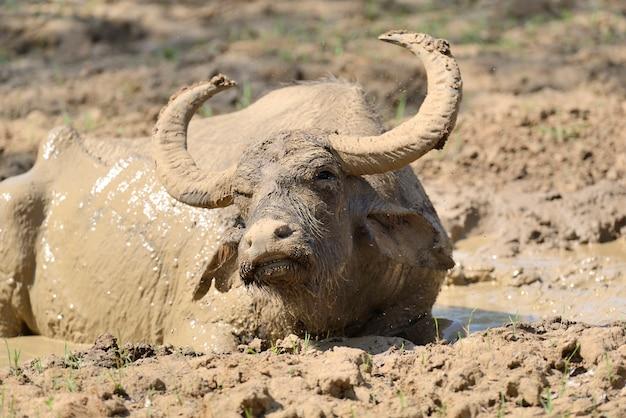 Bufalo d'acqua sta facendo il bagno in un lago nello sri lanka Foto Gratuite