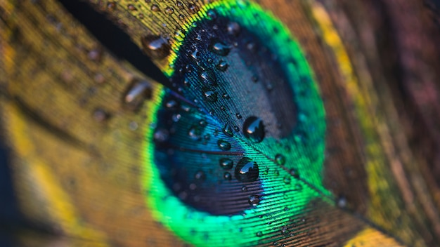 Water drop floating on a beautiful peacock feather Free Photo