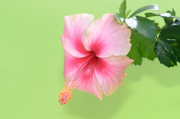 Water droplets hibiscus flower Premium Photo