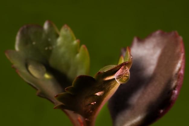 Water drops on succulent plant. Premium Photo